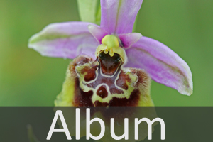 Album Orchideen